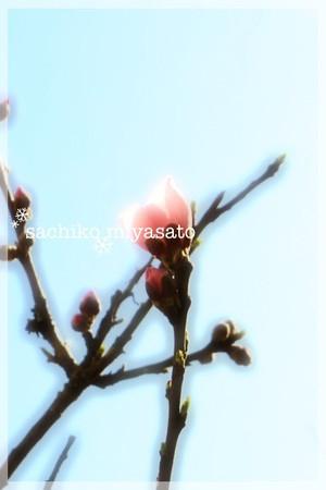 20130312sakura