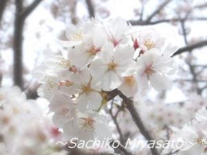 20130329sakura2_gf