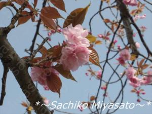 20130405yaezakura_gf
