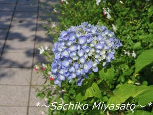 20130523ajisai1_gf