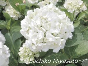 20130523ajisai2_gf
