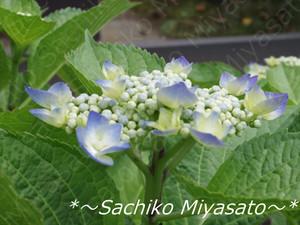 20130526ajisai_gf
