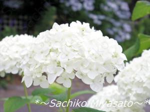 20130611ajisai_gf