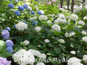 20130618ajisainotaki_gf