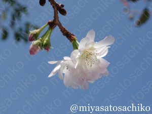 20131105sakura3_gf_2