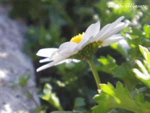 20150302flower