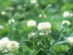 Flower_sirotumekusa