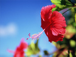 Flower_hibisucus01