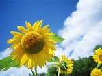 Flower_sunflower01