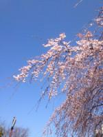 しだれ桜 長浜公園 横浜市金沢区