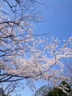 20120408sakura