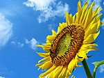 Sunflower_004_2